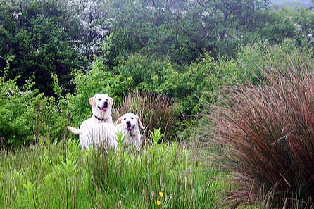 Goldie and Harry in the undergrowth