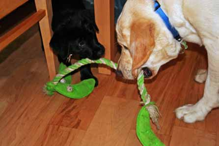 Blaze and Harry play tug of war