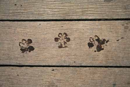 Wet paw prints on the wooden bridge
