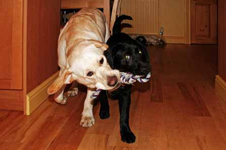 Harry and Blaze playing tug