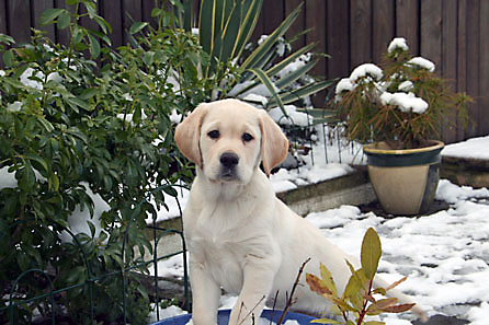 Harry in the snow - aged 10 weeks