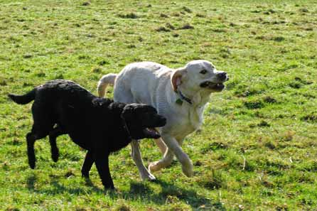 Harry and Blaze running in the field