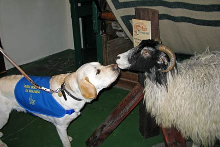 Harry and the stuffed sheep