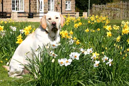 Harry sitting in the middle of a patch of daffodils