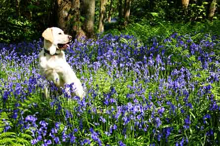 Harry posing among the bluebells
