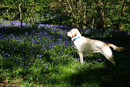 Harry staring at the bluebells